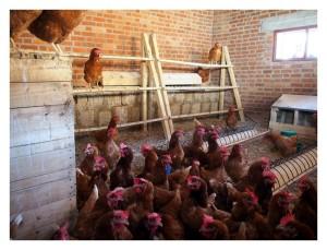 toujours les poules